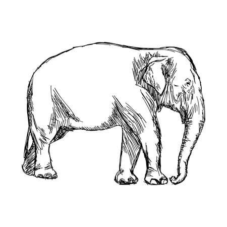 asian elephant: illustration vector hand drawn doodle asian elephant isolated on white. Illustration