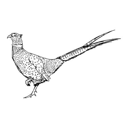 illustration doodle- of sketch common Pheasant (Phasianus colchicus) isolated