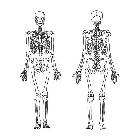 bony: illustration vector hand draw doodles of human skeleton from the posterior and anterior view, anatomy of human bony system