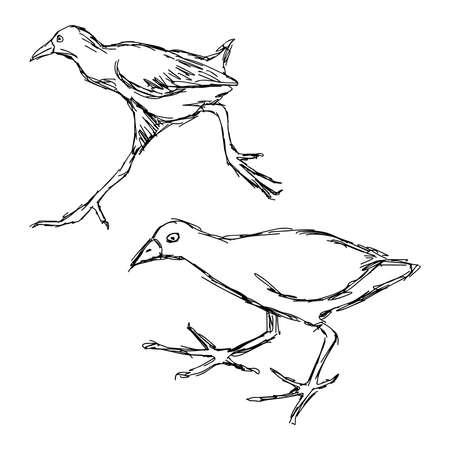 illustration hand drawn of  African Black Crake Bird isolated on white background