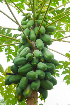 Papaya on the tree in the background of cloudy sky.