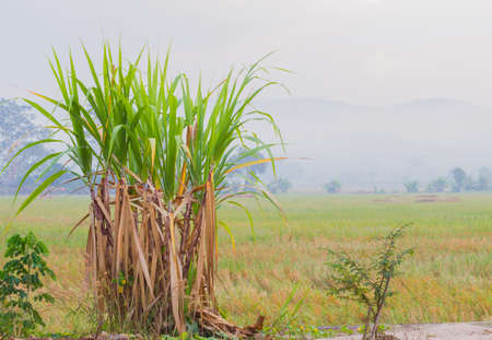sugarcane plantation in the background of countryside with copyspace.