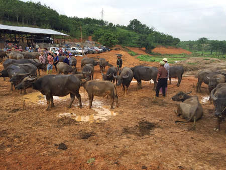 CHIANG RAI, THAILAND - AUGUST 21 : unidentified people trade at livestock market in suburb on August 21, 2016 in Chiang rai, Thailand. This market take place every Sunday. Editorial