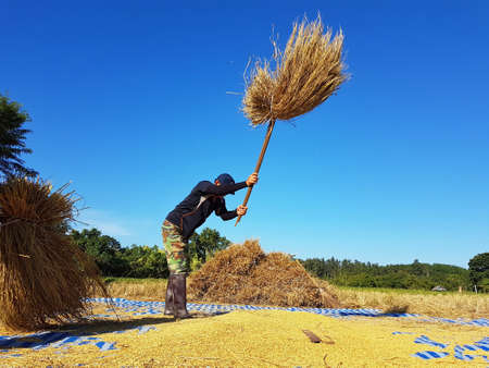 third world: CHIANG RAI, THAILAND - NOVEMBER 23 : unidentified Thai farmer threshing by beating rice to separate seed from the trunks on the ground on November 23, 2016 in Chiang rai, Thailand Editorial