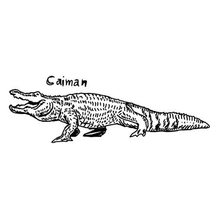 vector illustration sketch hand drawn with black lines of caiman isolated on white background