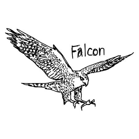 vector illustration sketch hand drawn with black lines of falcon isolated on white background Illustration