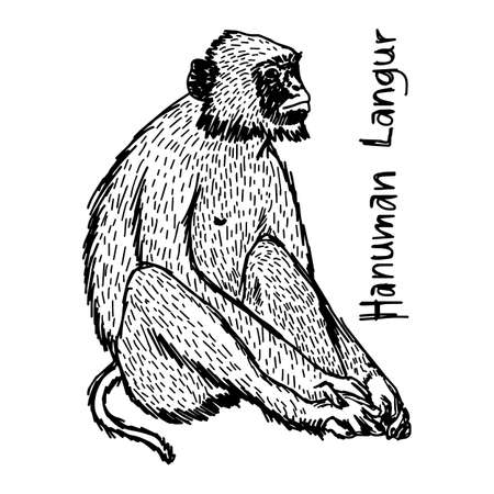 vector illustration sketch hand drawn with black lines of hanuman langur isolated on white background Illustration