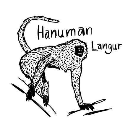 semnopithecus: vector illustration sketch hand drawn with black lines of hanuman langur isolated on white background Illustration