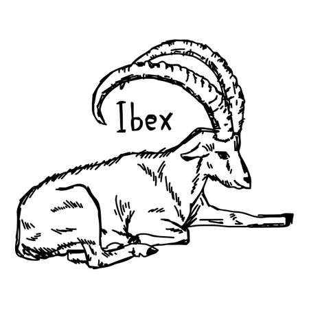 vector illustration sketch hand drawn with black lines of ibex with beautiful horn isolated on white background