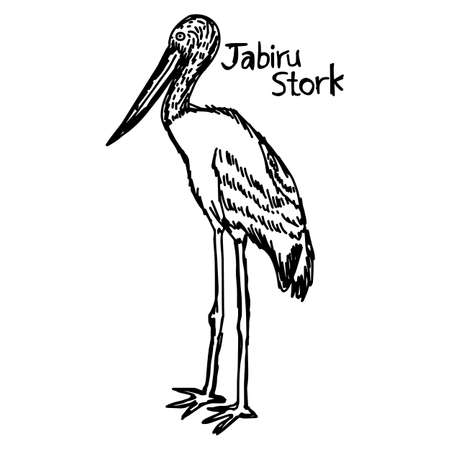 vector illustration sketch hand drawn with black lines of jabiru stork isolated on white background