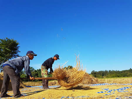 CHIANG RAI, THAILAND - NOVEMBER 23 : unidentified Thai farmer threshing by beating rice to separate seed from the trunks on the ground on November 23, 2016 in Chiang rai, Thailand Editorial