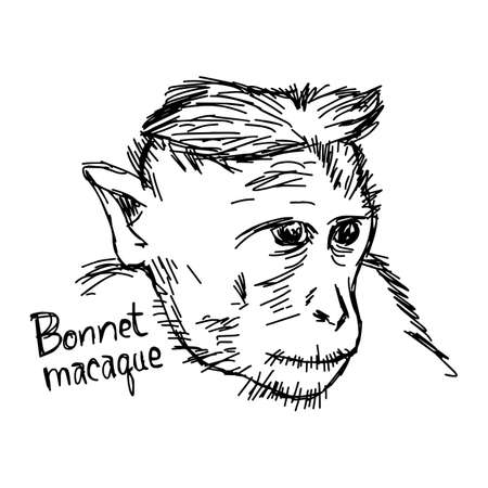 Bonnet macaque closeup - vector illustration sketch hand drawn with black lines, isolated on white background