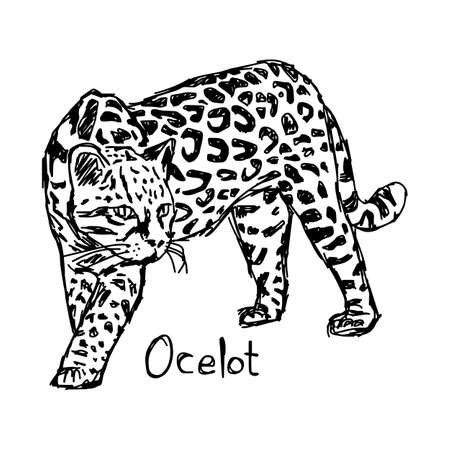 ocelot - vector illustration sketch hand drawn with black lines, isolated on white background Illustration