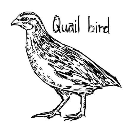 Caille - croquis d'illustration vectorielle dessiné avec des lignes noires, isolé sur fond blanc