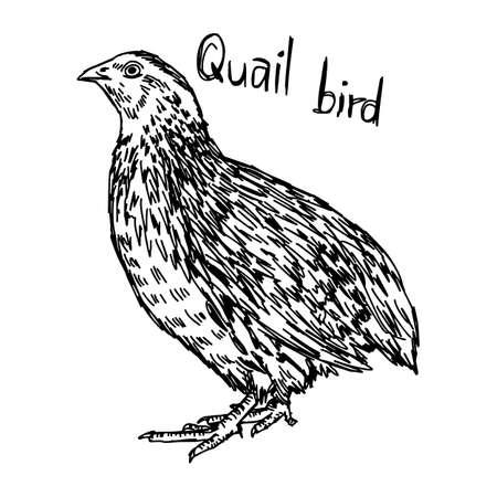 Wachtel - Vektor Hand Illustration Skizze mit schwarzen Linien gezeichnet, isoliert auf weißem Hintergrund