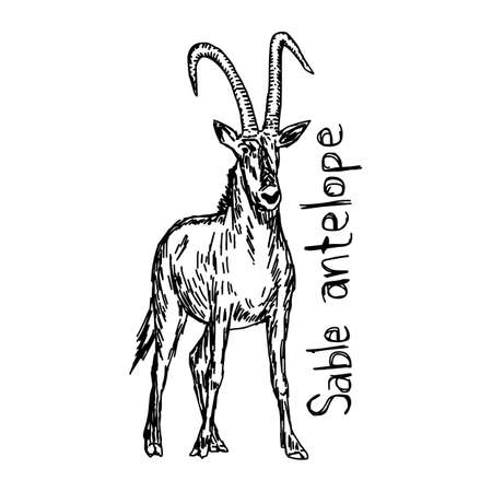 Sable antelope - vector illustration sketch hand drawn with black lines, isolated on white background Illustration