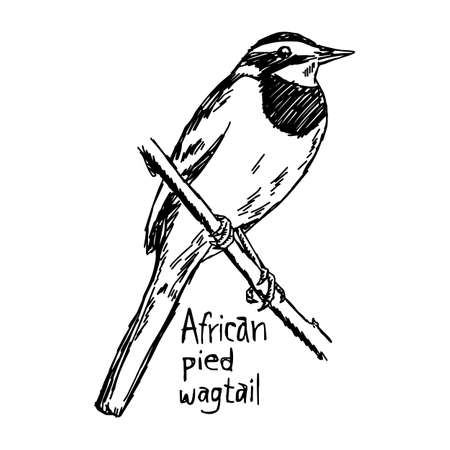 african pied wagtail - vector illustration sketch hand drawn with black lines, isolated on white background