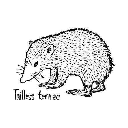 Tailless tenrec - vector illustration sketch hand drawn with black lines, isolated on white background