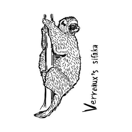 Verreauxs sifaka - vector illustration sketch hand drawn with black lines, isolated on white background