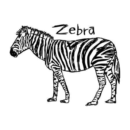 Zebra - vector illustration sketch hand drawn with black lines, isolated on white background
