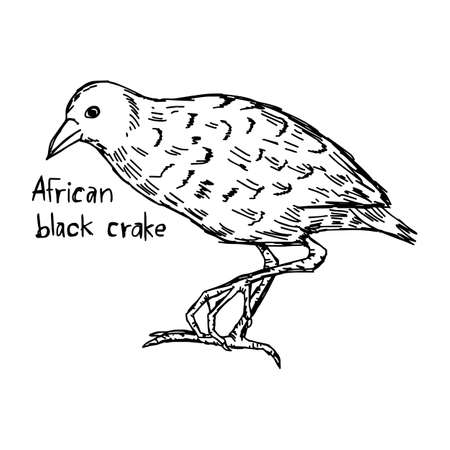 African black crake -  vector illustration sketch hand drawn with black lines, isolated on white background Illustration