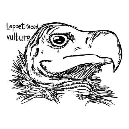 lappet: lappet-faced vulture - vector illustration sketch hand drawn with black lines, isolated on white background