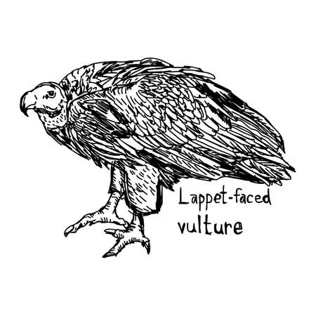 lappet-faced vulture - vector illustration sketch hand drawn with black lines, isolated on white background