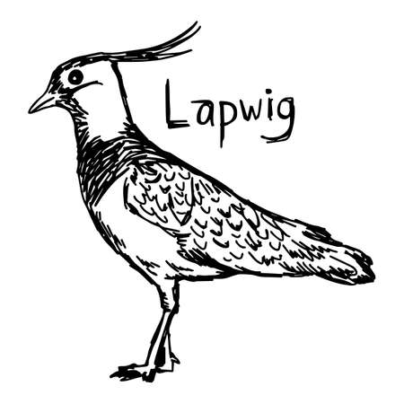 lapwig - vector illustration sketch hand drawn with black lines, isolated on white background