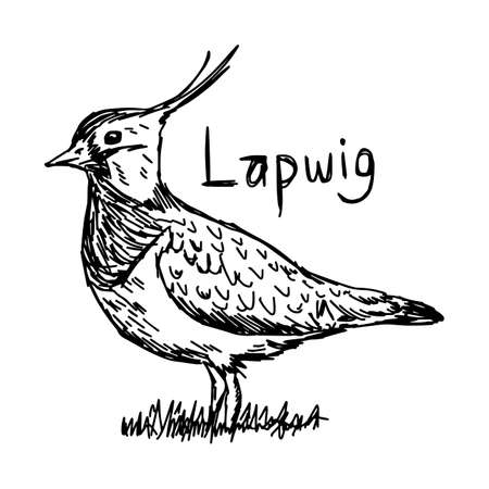 Lapwig - vector illustration sketch hand drawn with black lines, isolated on white background Illustration