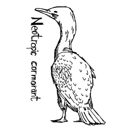 Neotropic cormorant - vector illustration sketch hand drawn with black lines, isolated on white background