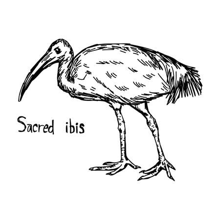 Sacred ibis walking - vector illustration sketch hand drawn with black lines, isolated on white background