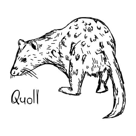 quoll - vector illustration sketch hand drawn with black lines, isolated on white background