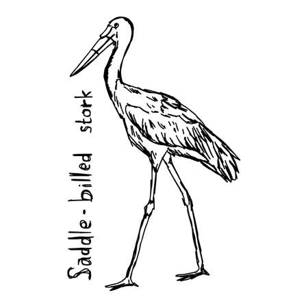 Saddle-billed stork - vector illustration sketch hand drawn with black lines, isolated on white background