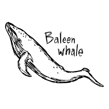 Baleen whale - vector illustration sketch hand drawn with black lines, isolated on white background