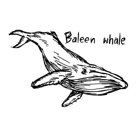 fish tail: Baleen whale - vector illustration sketch hand drawn with black lines, isolated on white background