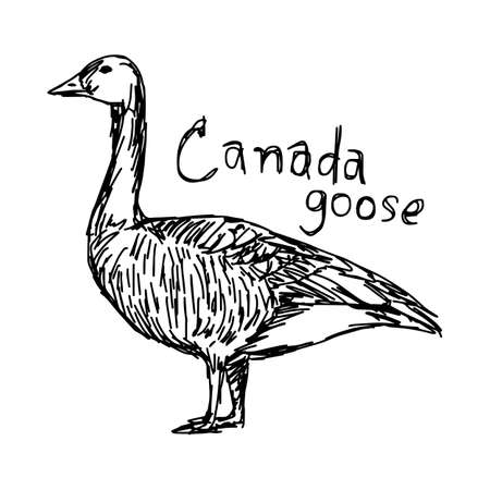 Canada goose - vector illustration sketch hand drawn with black lines, isolated on white background