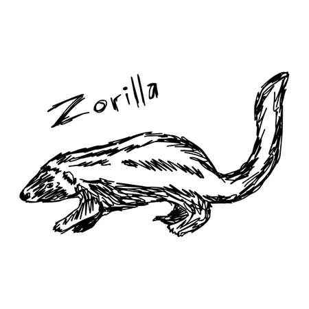 Zorilla - vector illustration sketch hand drawn with black lines, isolated on white background Illustration
