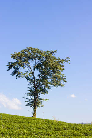 vacant land: green field and lonely tree in the background of blue sky Stock Photo