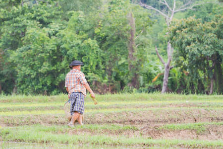 illustrative: CHIANG RAI, THAILAND - JUNE 16 : Unidentified farmer working rice planting in the field on June 16, 2017 in Chiang rai, Thailand.