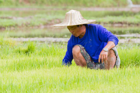 illustrative: CHIANG RAI, THAILAND - JUNE 16 : Unidentified male farmer in blue t-shirt working rice planting in the field on June 16, 2017 in Chiang rai, Thailand.