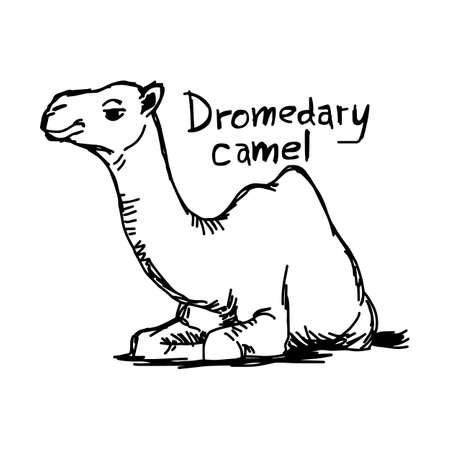 dromedaris kameel zittend op het zand - vector illustratie schets hand getekend met zwarte lijnen, geïsoleerd op een witte achtergrond