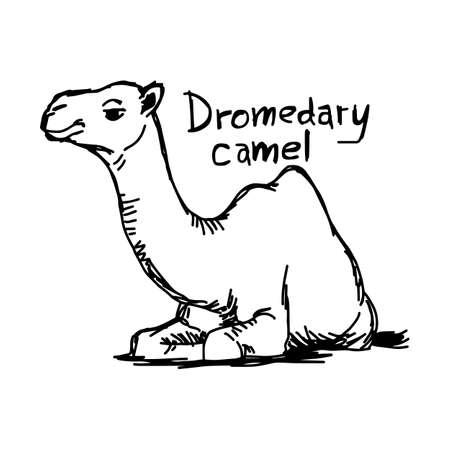 dromedary camel sitting on the sand - vector illustration sketch hand drawn with black lines, isolated on white background