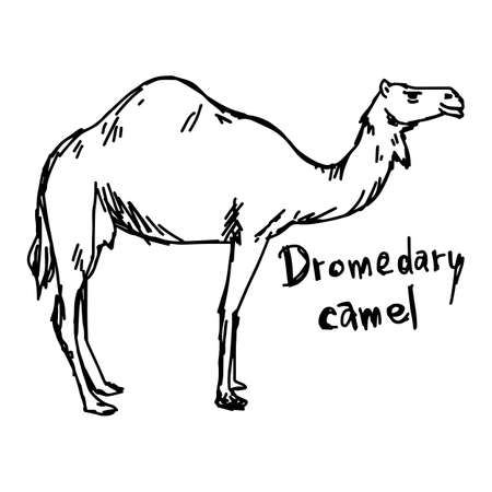 dromedary camel standing on the sand - vector illustration sketch hand drawn with black lines, isolated on white background