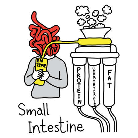 Metaphor Function Of Small Intestine To Make Enzyme To Digest ...