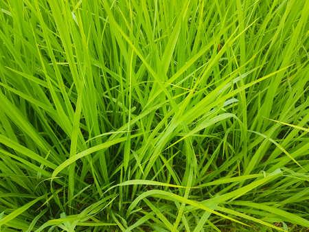 Close-up green rice plant Stock Photo