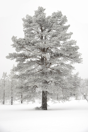 polar climate: Trees covered with snow