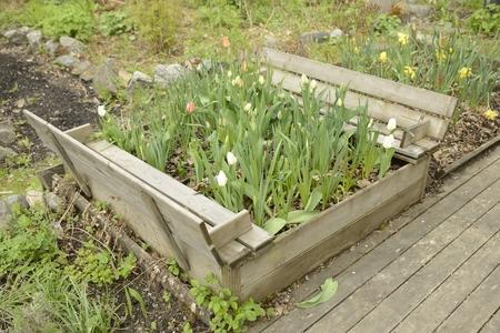runner bean: Organic Gardening on the Allotment