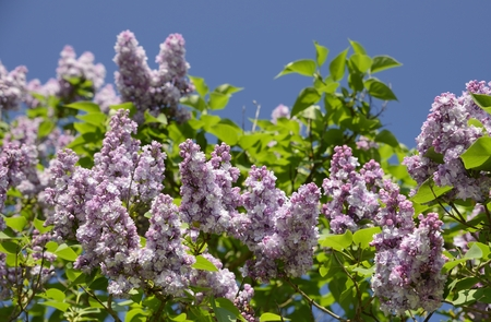 Beautiful purpel lilac flowers outdoors. Stock Photo