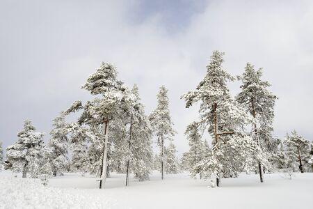 스웨덴 겨울 풍경에 눈으로 덮여 가문비 나무 숲 스톡 콘텐츠 - 77671840