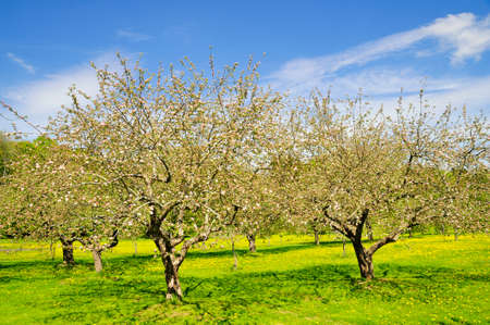 Fruit trees in an orchard at Ekebyhovs slott , Sweden. Standard-Bild